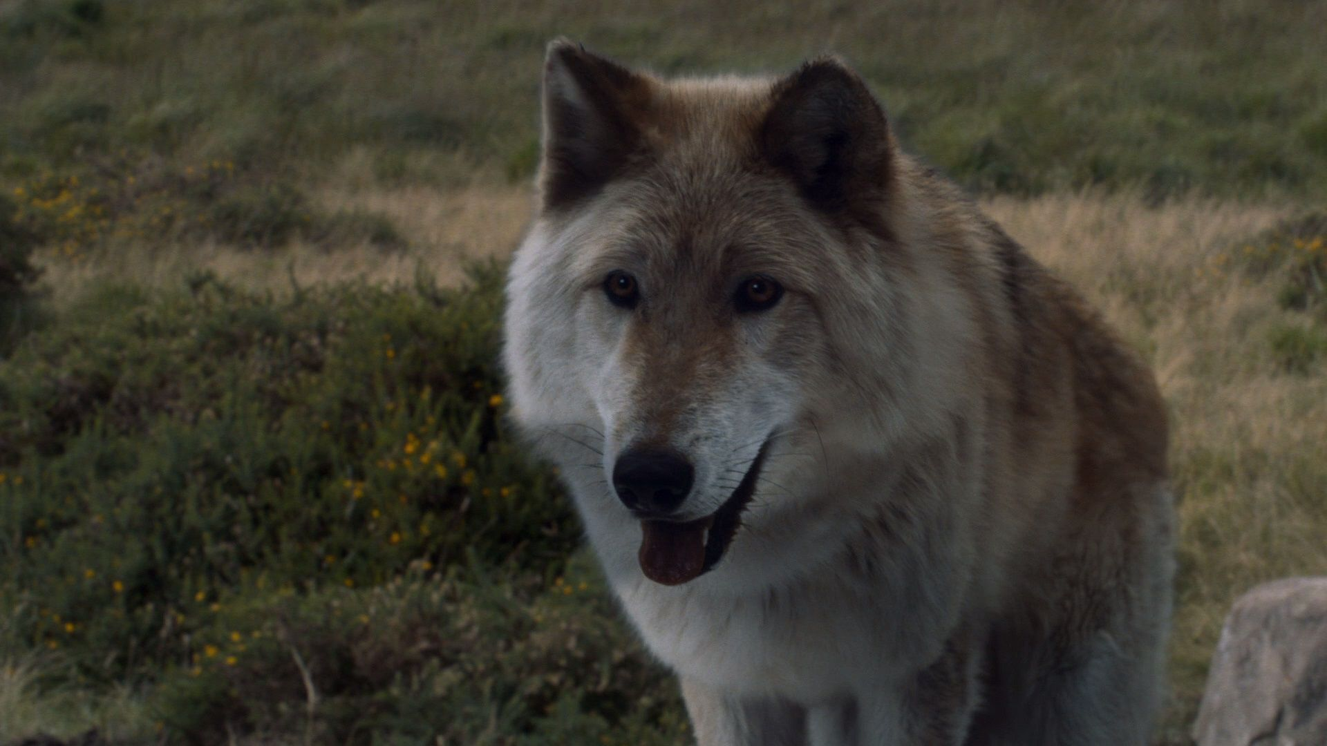 Game Of Thrones Why The Direwolves Matter Collider