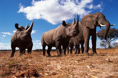 Black rhinoceros and Africa elephant, Africa
